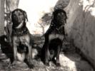 Pierwsza para ogarów, z prawej pies Hałas, z lewej suka Lora.