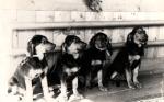 Początki nauki dyscypliny, psy musiały umieć na komendę ładnie siedzieć.